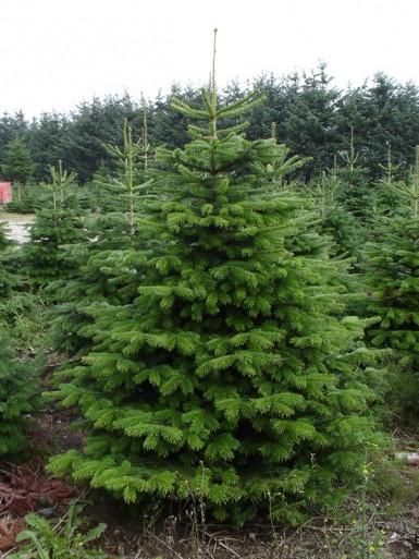 juletræ holdbarhed